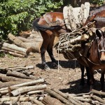 Hard working mules carrying timber.