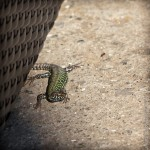 common Italian house lizard